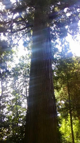 参道の杉の銘木