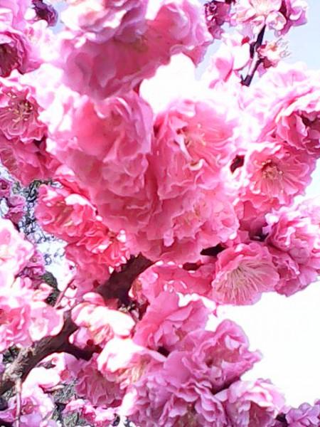 月見の里南濃の月見の森の八重桜