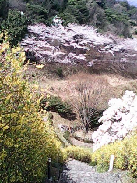 月見の里南濃の月見の森の桜の風景