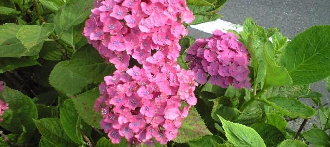 あじさいの美しい色形姿は母の日のプレゼントにも・色の七変化美の壺