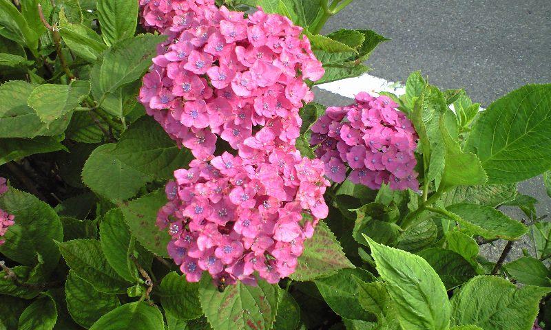 【あじさい】色の違い・花弁・咲き方・長く楽しむ方法は?(豆知識)
