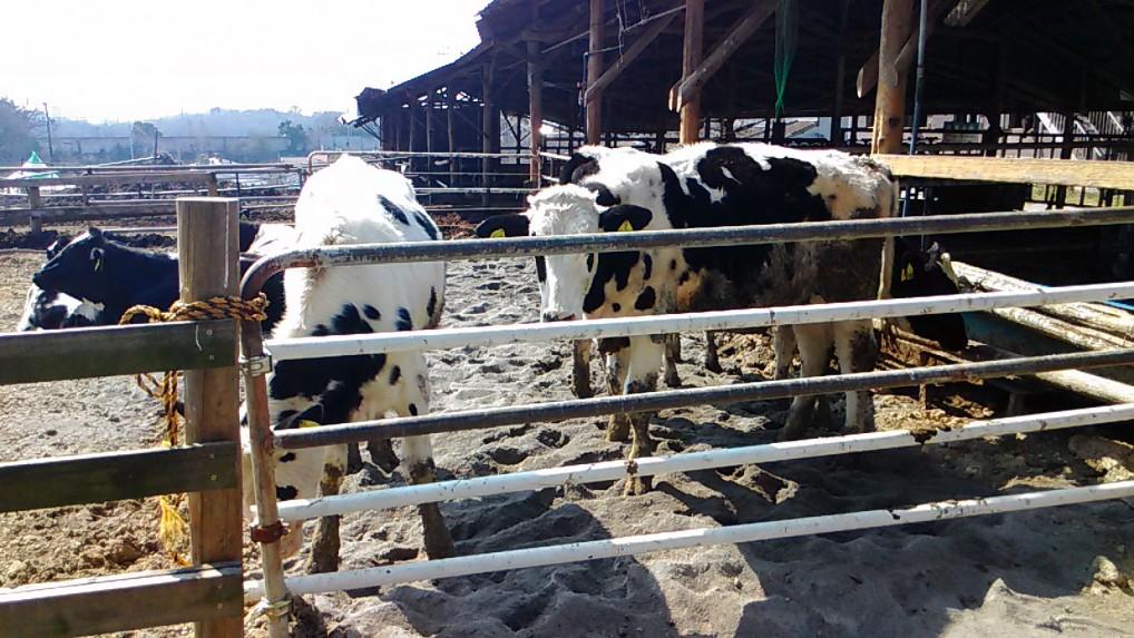 愛知牧場の若い牛たち