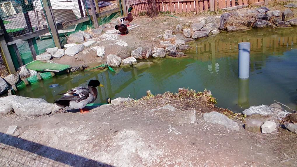 愛知牧場の小さな池とカモ