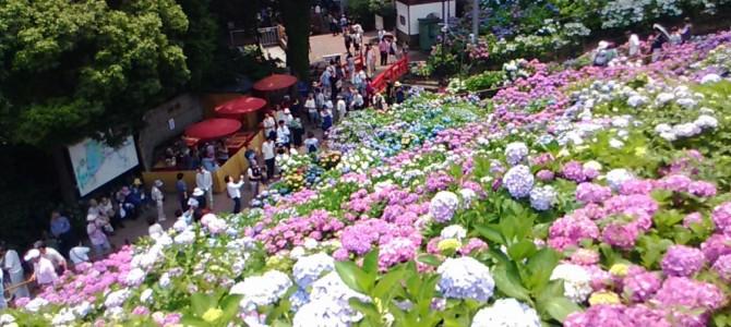 2017年形原温泉あじさいの里・広大な敷地に品種の多さで魅了される(愛知県蒲郡市)