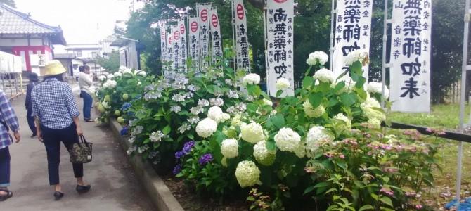 音楽時(愛知県江南市)あじさい寺2017年・駐車場やトイレ門付近のあじさいの道