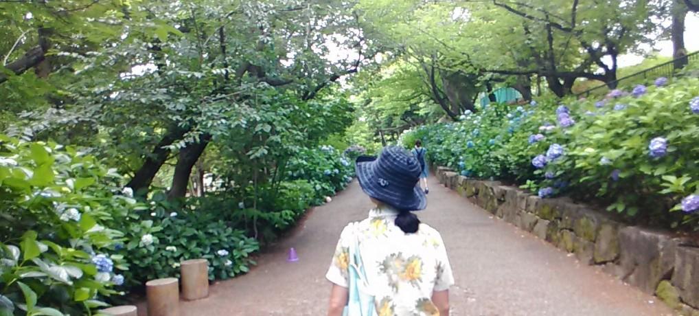 2018年(H30)鶴舞公園あじさいを愛でる散歩道・見ごろアクセス(愛知県名古屋市昭和区)