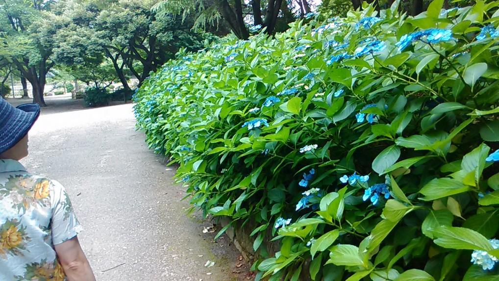鶴舞公園あじさいの散歩道