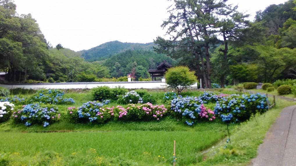 松平郷高月院入り口にさしかかるところののあじさい