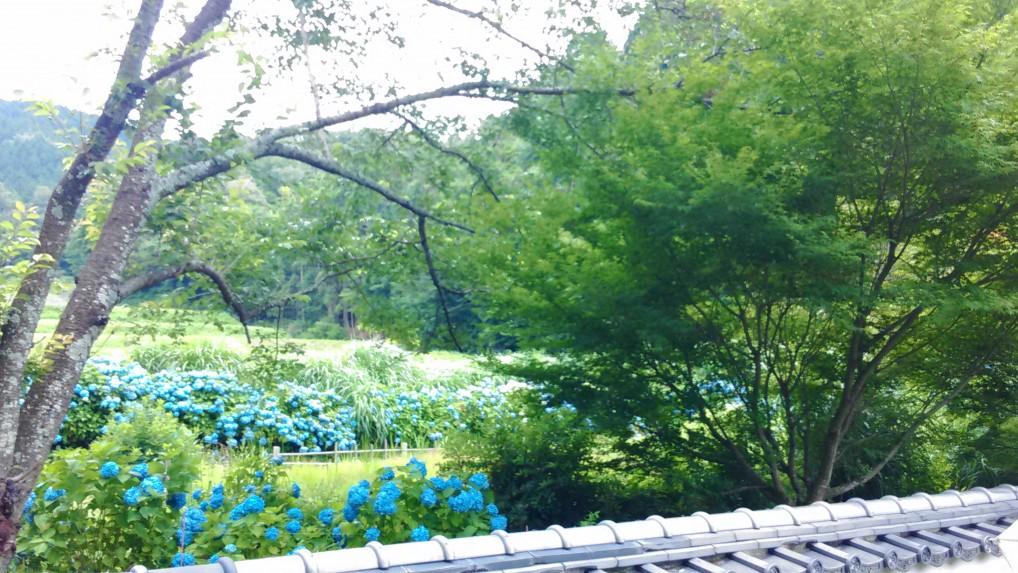 松平郷高月院から見るあじさい