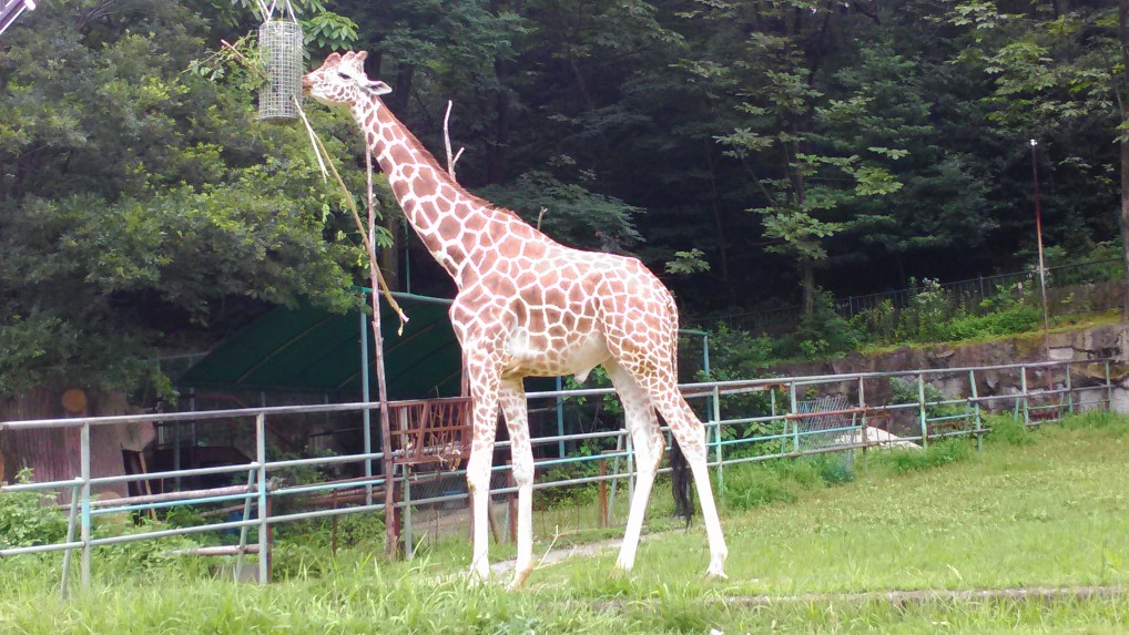 東山動植物園キリン