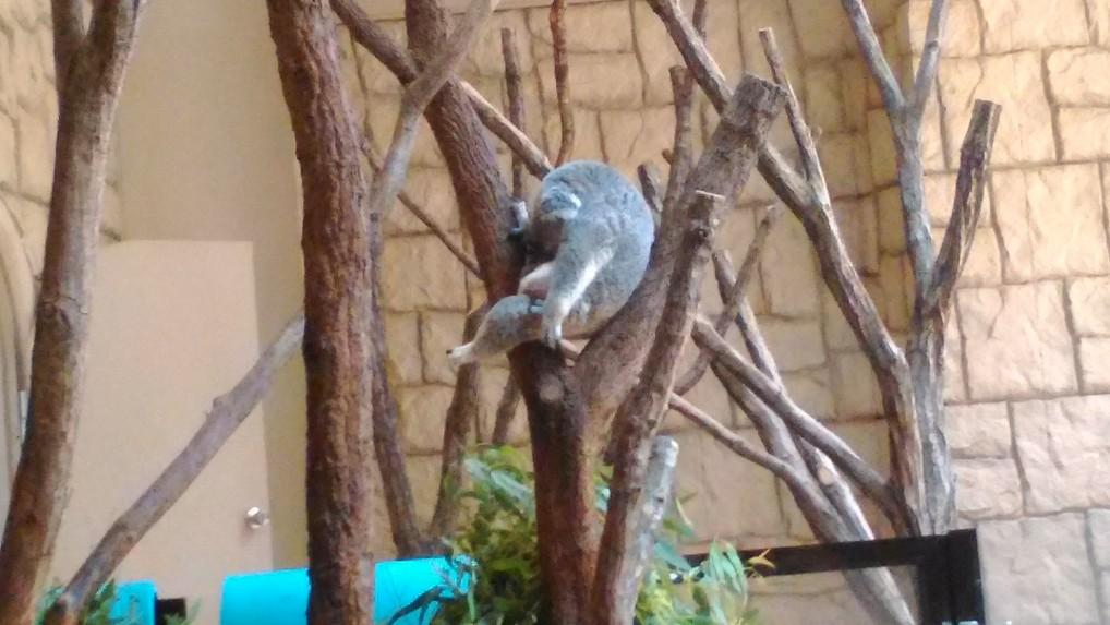 東山動植物園コアラ