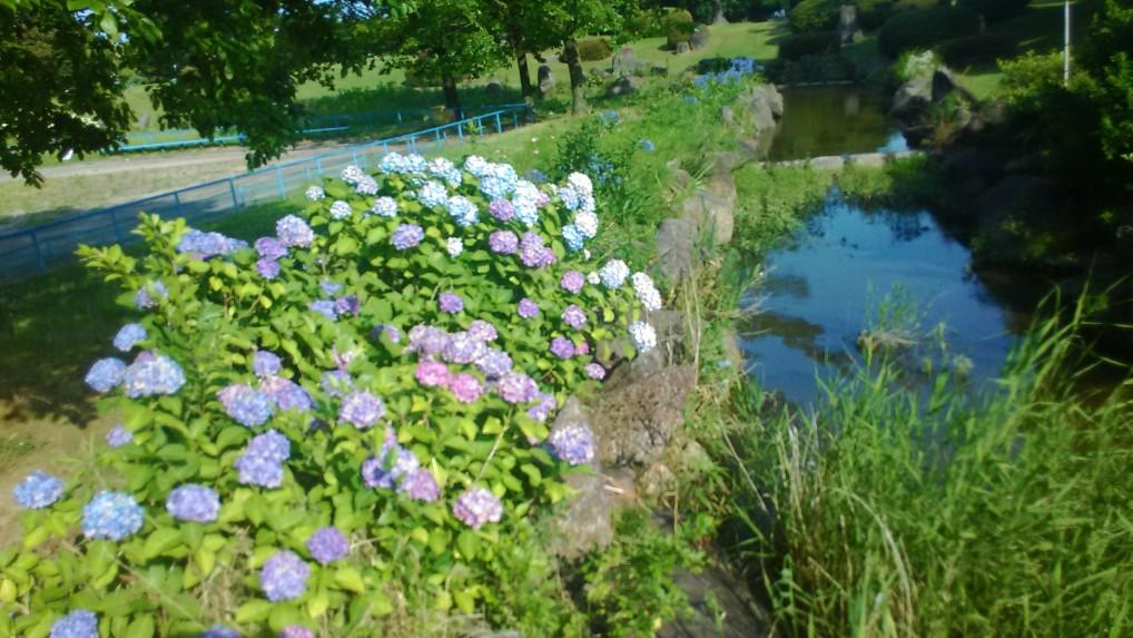 庄内緑地公園のアジサイ写真水辺の横にあるアジサイ
