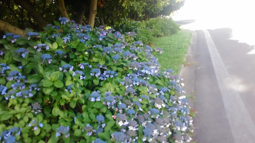 庄内緑地公園のアジサイ写真・園内のサイクリングコース脇にもたくさん咲いています。