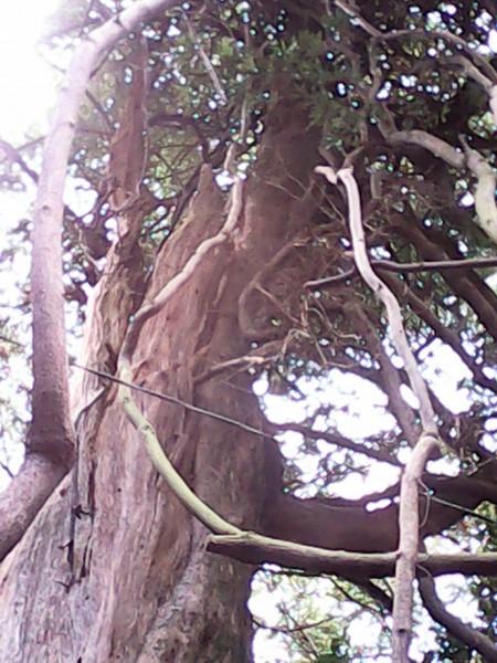 竹島の八百富神社ご神木