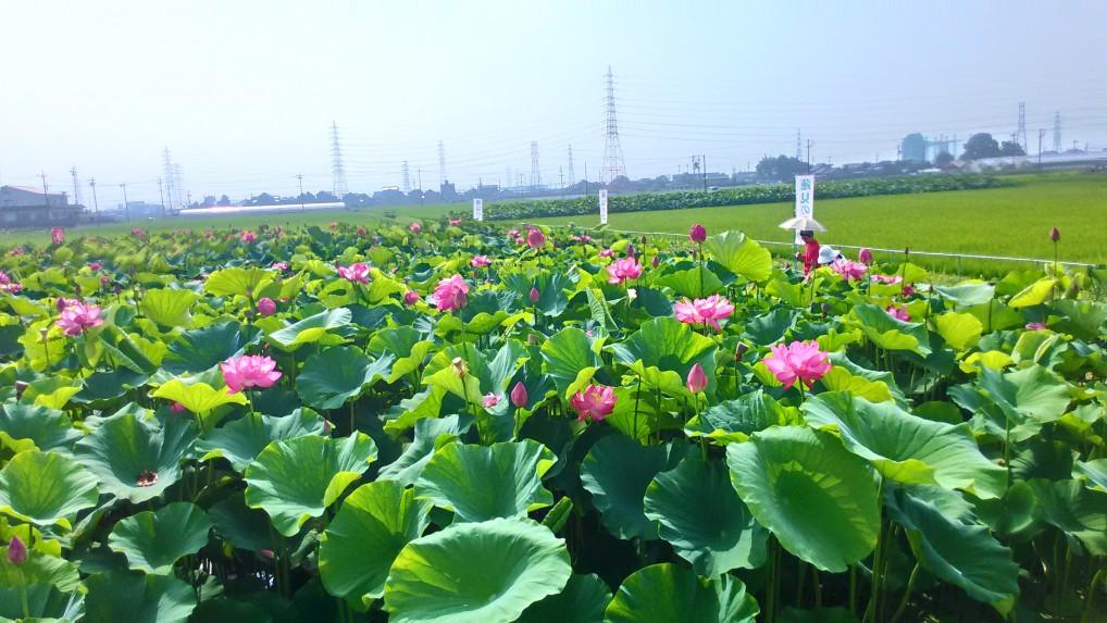 蓮見の会森川花はす田
