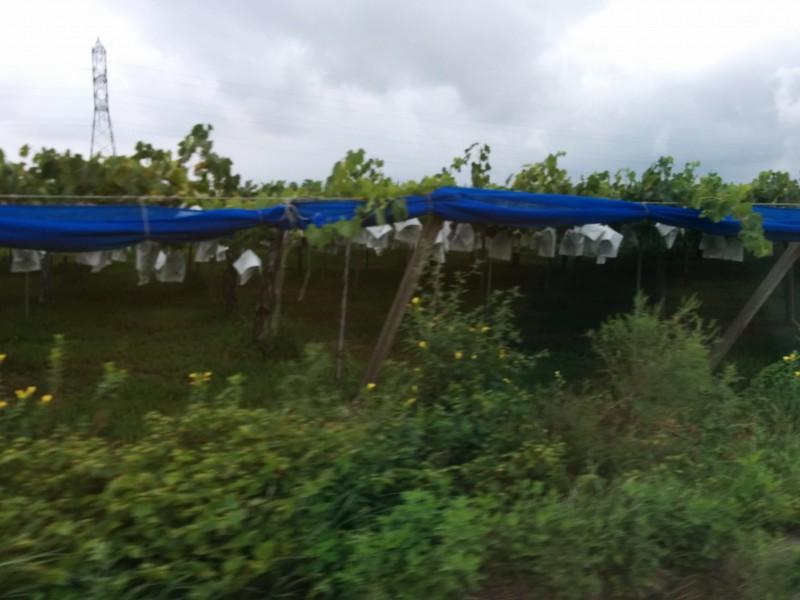 道の駅今井恵みの里周辺の葡萄畑