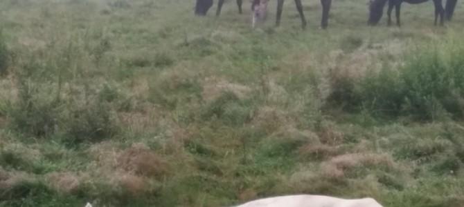 霧深い高原のどかな馬たち・お昼ね?