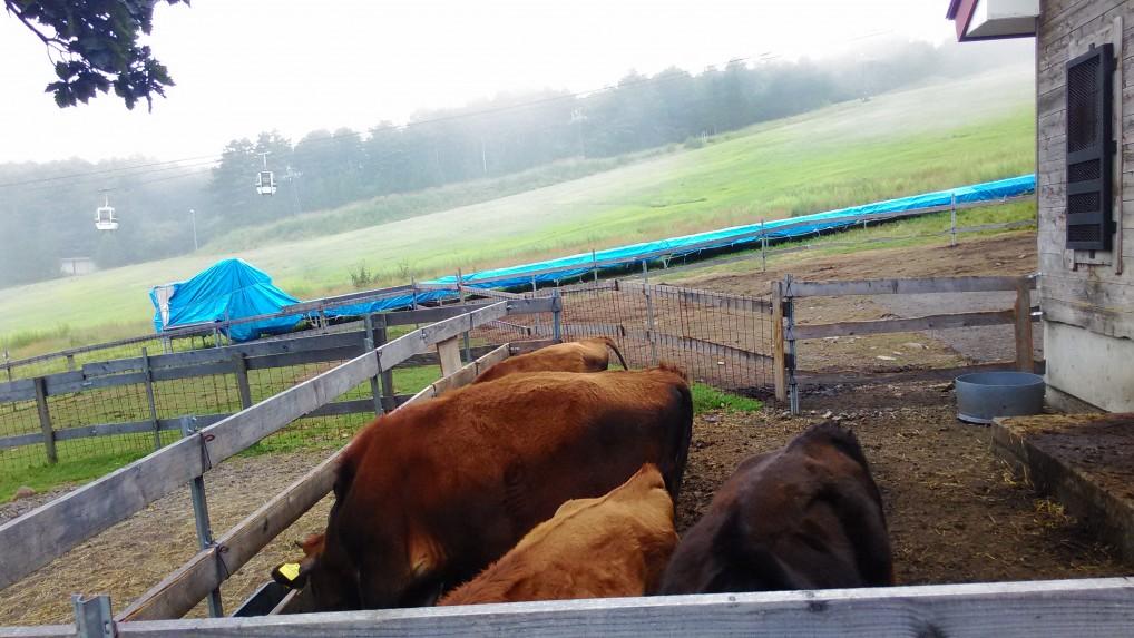 蓼科牧場のふれあい牧場牛