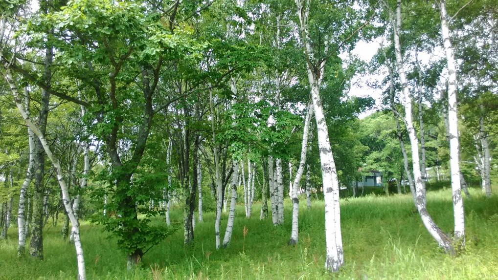 女神湖蓼科野外音楽堂への小路のまわりの白樺林