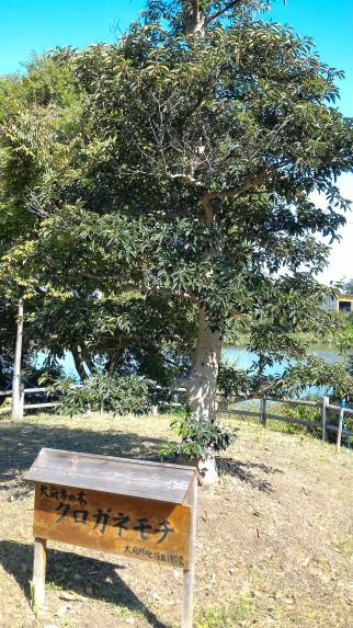 愛知県大府市二ツ池公園の小さい方の池と市の木くろがねもち