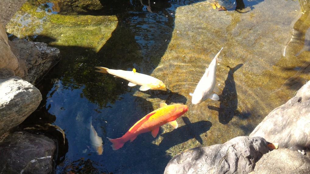 「尾張猿田彦神社」愛知県一宮市の池の鯉