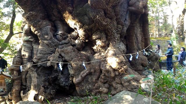 来宮神社の樹齢2000年の大楠アップ