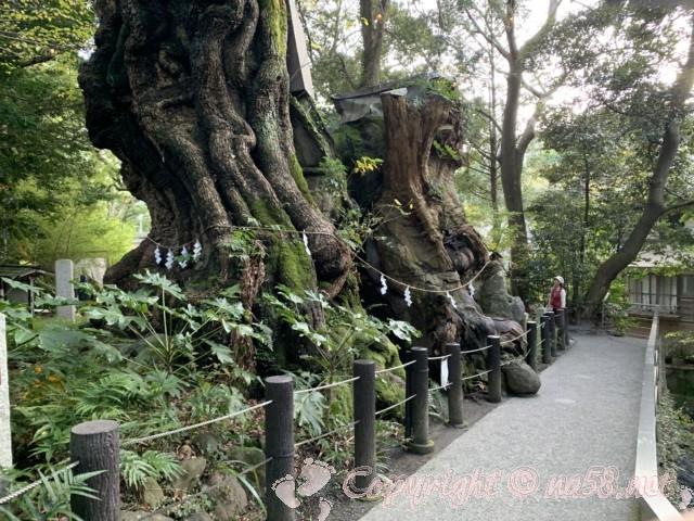 来宮神社(静岡県熱海市)の樹齢2,000年を超える大楠(おおくす)