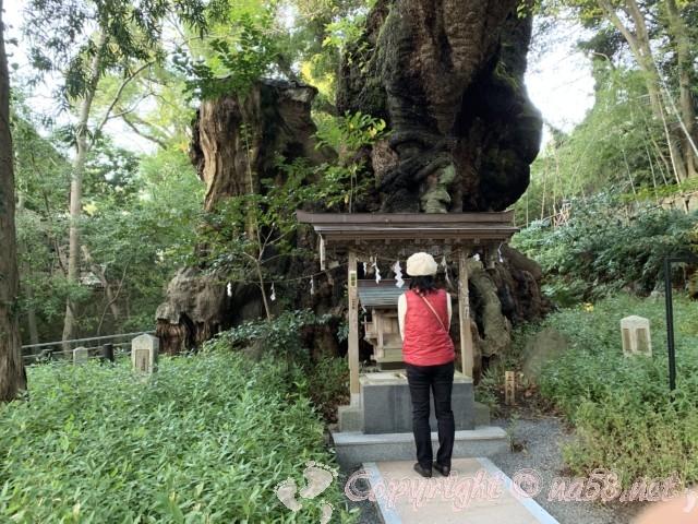 来宮神社(静岡県熱海市)の樹齢2000年をこえる大楠とその前の社