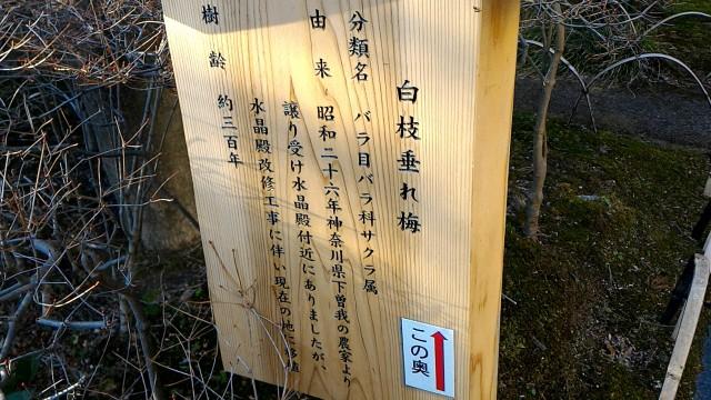 MOA美術館の手前の日本庭園の垂れ梅