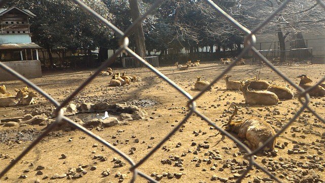 三嶋大社(静岡県三島市)の神鹿園の鹿