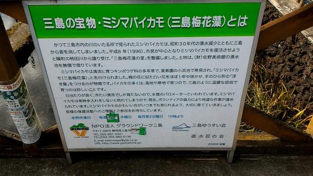 三島市「三島梅花藻の里」のミシマバイカモとは