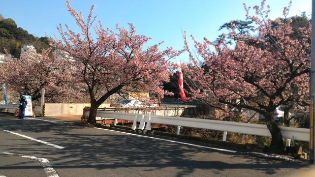 熱海市の熱海梅園駐車場入口にある熱海桜満開