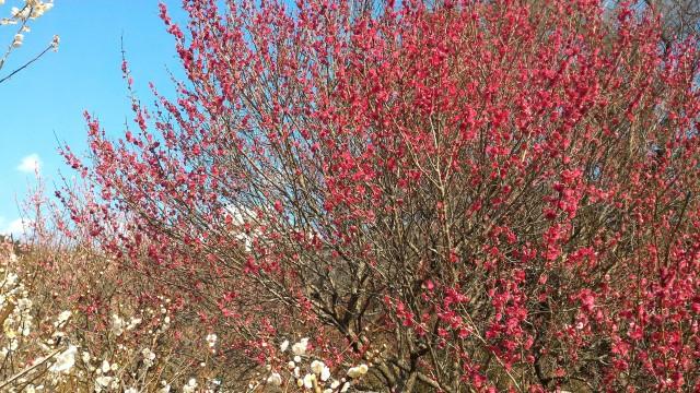 熱海梅園内の梅燃えるような赤い梅