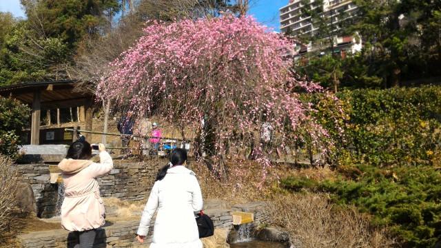 熱海梅園の梅・園内の様子2月上旬は見ごろのピークです(静岡県熱海市)