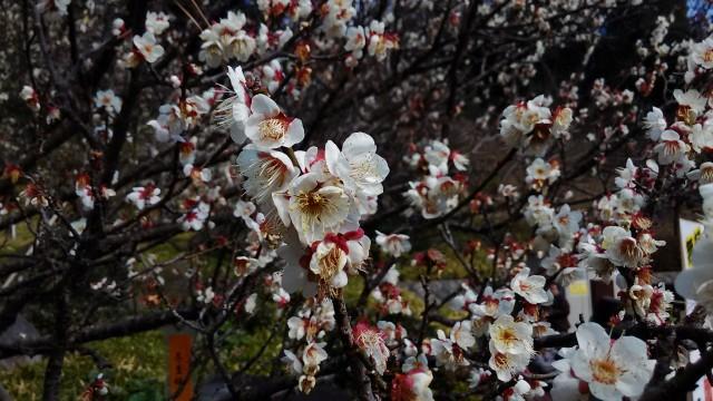 名古屋城の梅・見ごろは2月中旬~3月上旬・入場禁止になる前に(名古屋市中区)