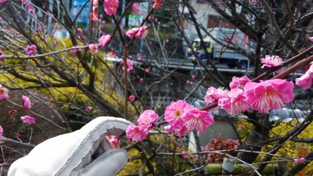 熱海梅園の赤梅アップ
