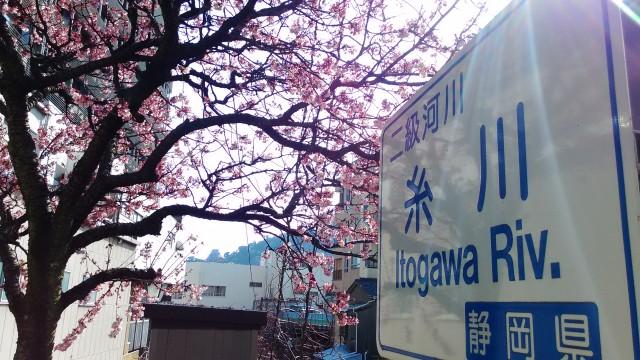 糸川沿いのあたみ桜と糸川の河川看板と