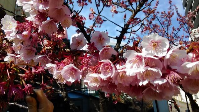 あたみ桜満開アップ