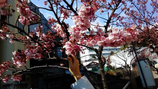 あたみ桜満開糸川沿いで