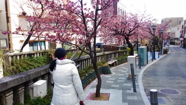 あたみ桜満開糸川沿い散策