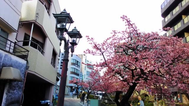あたみ桜満開糸川沿いでおしゃれな街灯と