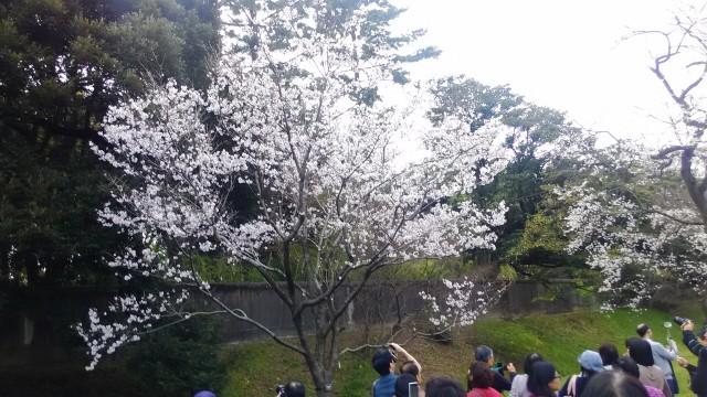 皇居花見乾通り一般公開の桜の様子