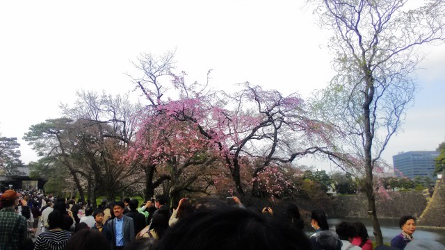 皇居の花見一般公開の日程(東京都)混雑状況