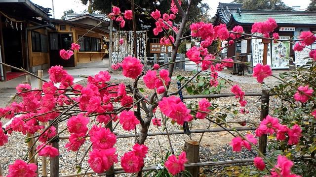 伊奴(いぬ)神社(名古屋市西区)満開の梅か桃の花?