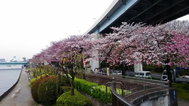 隅田川の桜並木ほぼ満開