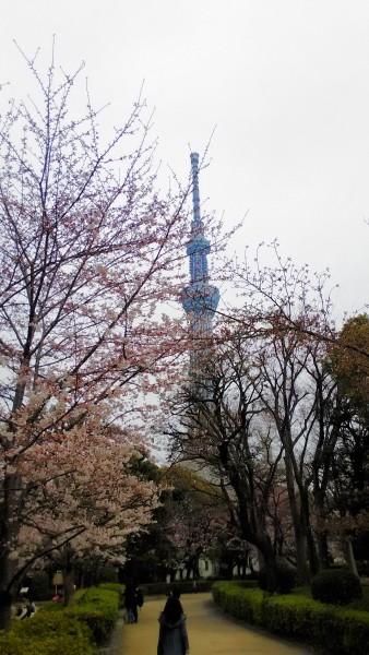 隅田公園(東京都)の桜スカイツリーをバックに