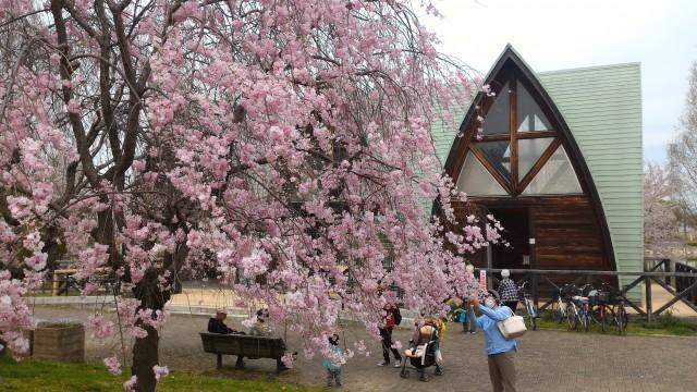 愛知県春日井市落合公園の管理棟とその前のしだれ桜