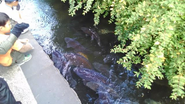 岐阜県郡上市いがわこみちには丸丸と太った鯉がたくさん