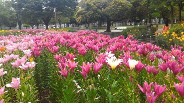 千種公園(名古屋市千種区)ゆりの花園、色の違うのも混ざって