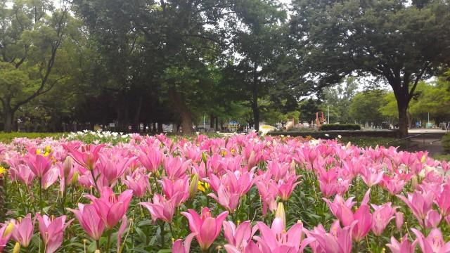 千種公園(名古屋市千種区)ゆり園の満開のゆり赤紫色
